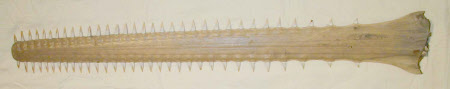 Sawfish rostrum