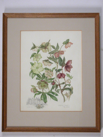 Helleborus orientalis with sketch of south facade of Dudmastan Hall, Shropshire