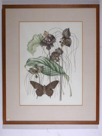 Tacca chantieri or The Black Bat Flower