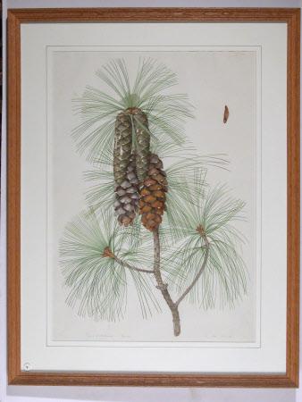 Pinus wallichiana Bhutan
