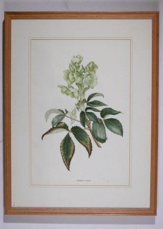 Helleborus corsicus