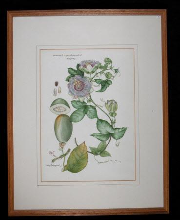 Passiflora p.quadrangularis, p.racemosa.