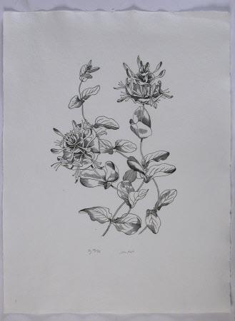 Honeysuckle lonicera caprifolium
