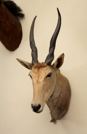 Common eland head