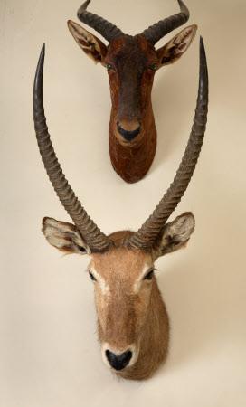 Waterbuck head