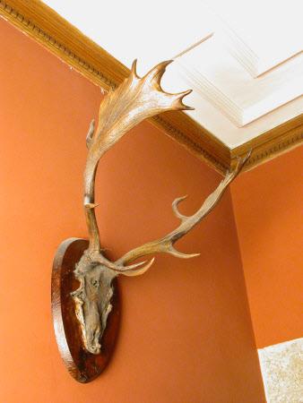 Falow deer antlers