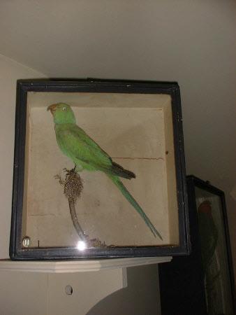 Indian parakeet