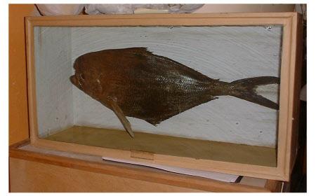 Bumphead surgeonfish