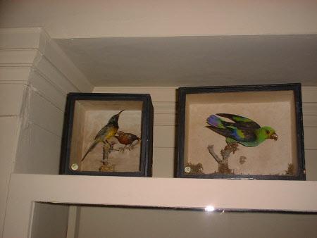 Seven coloured parrotlet