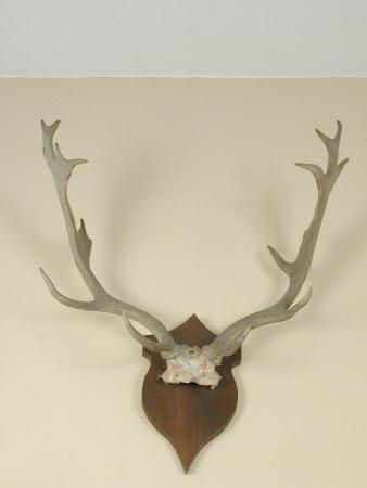 Fallow buck antlers