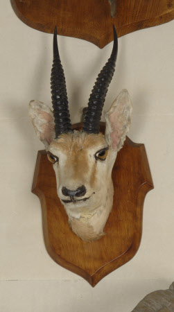 Kennion gazelle head