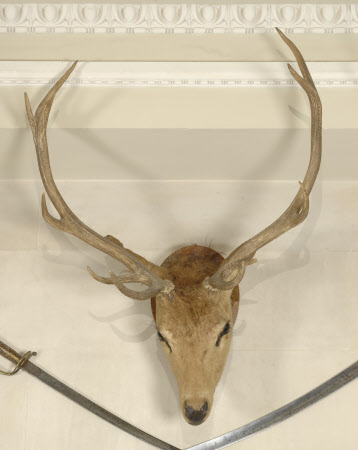 Thomson's gazelle head