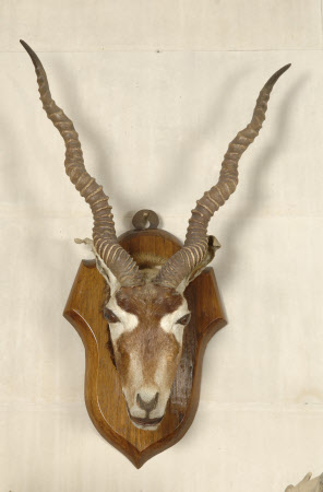 Blackbuck head