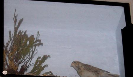 Lapland bunting