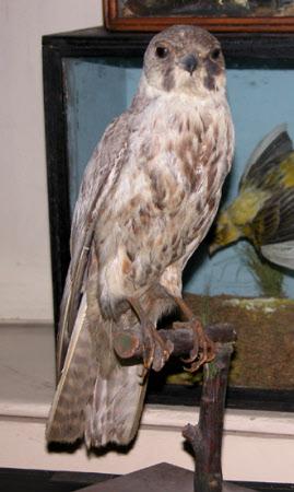 Hobby (bird)