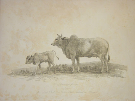 A Cow,     East Indian Cattle    206320 24   National Trust