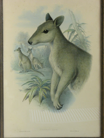 Dusky Pademelon - Thylogale brunii (formerly known as Dorcopsis bruni) (after John Gould)