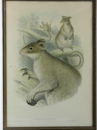 Grizzled Tree Kangaroo (Dendrolagus inustus) (after John Gould)