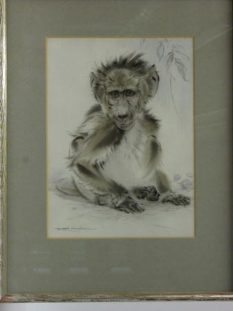 'The Forest Urchin' : A Baby Baboon.
