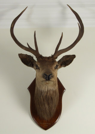 Red deer head