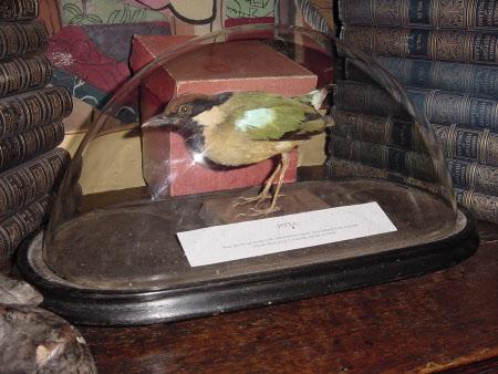 Pitta (bird)