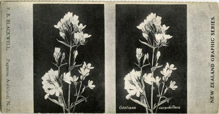 Gantiana corymbiflora