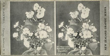 N.Z. Wildflowers Ranunculus (Lyallii) 1/5 nar. size