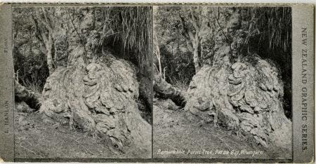 Remarkable Puriri Tree, Parua Bay, Whangarei