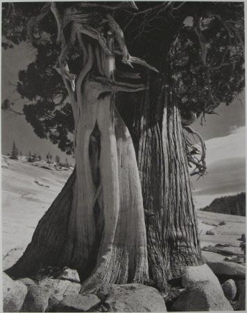 Juniper Tree, Lake Tenaya - 1937