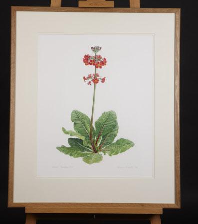 Primula Rowallane Rose