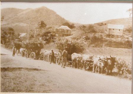 Sugar cane, carted by oxen.  Douglas Estate, 1932