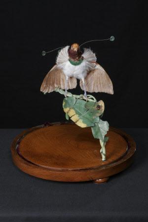 Stuffed male King Bird-of-Paradise,