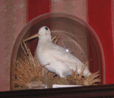 Albino woodcock