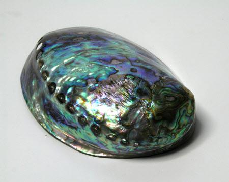 Puau shell