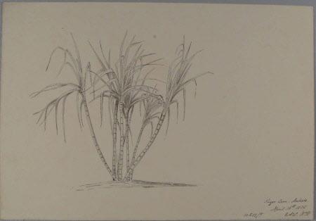 Sugar Cane - Aschada