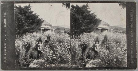 Garden of Cosmos, Waihi, New Zealand