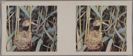 (14) Reed Warbler