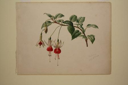 White and red Fuchsia