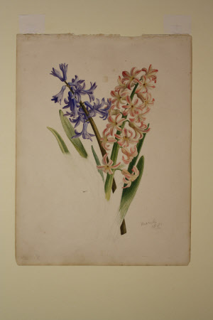 Blue and pink hyacinths
