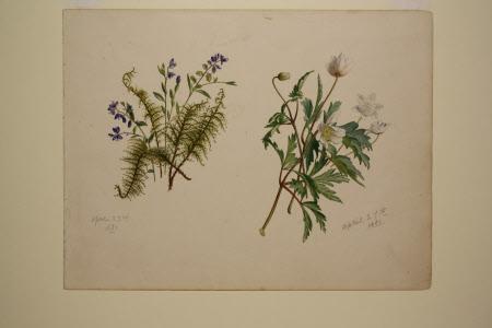 Milkwort and Wood Anemone