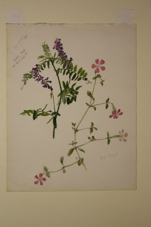 Tufted Vetch and Sweet William Catchfly