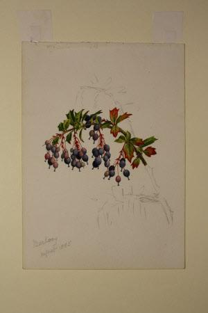 Mahonia aquifolium berries