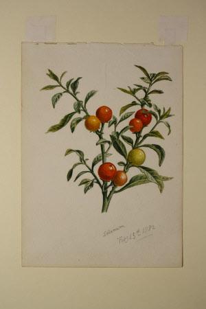 Solanum dulcamara berries