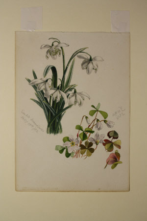 Snowdrops and Wood-sorrel