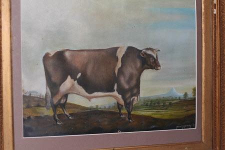 A Prize Cow