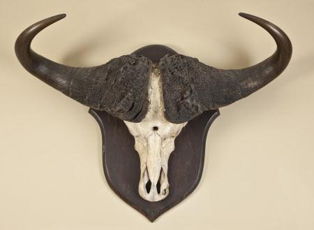 Bison horn