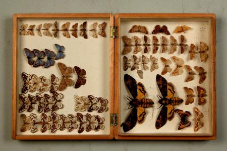 Insect specimen box