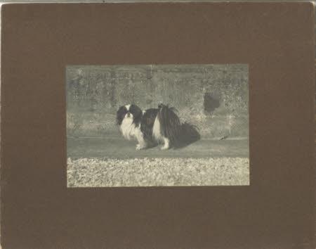 A pekinese dog