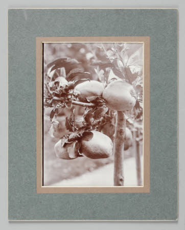 Keswick Codling apples