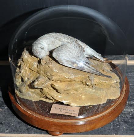 Dead Plover